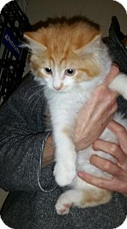 Domestic Longhair Kitten for adoption in Webster, Massachusetts - Henry
