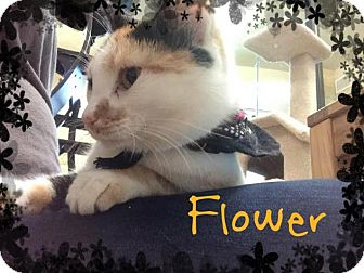 Calico Cat for adoption in Lewisville, Texas - Flower