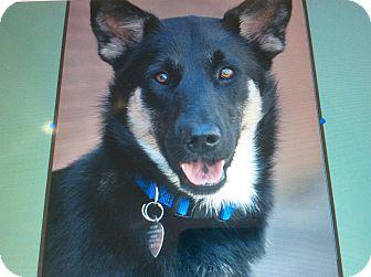 German Shepherd Dog Mix Puppy for adoption in Los Angeles, California - SERENA VON VAREL