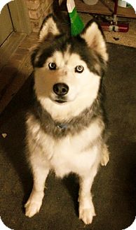 Siberian Husky Dog for adoption in Plano, Texas - Zorro