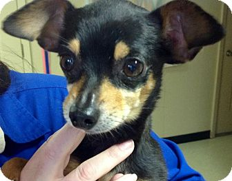Miniature Pinscher/Chihuahua Mix Dog for adoption in Union City, Tennessee - Snickers