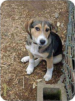 Husky/Beagle Mix Puppy for adoption in Oswego, New York - Shasta