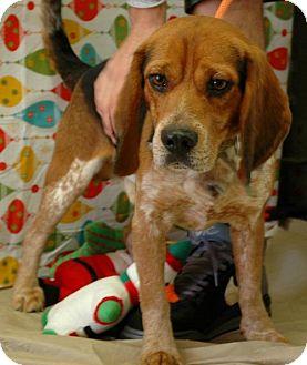 Beagle Dog for adoption in Point Pleasant, Pennsylvania - GUNNER - ADOPTION PENDING