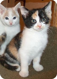 Calico Kitten for adoption in Lisbon, Ohio - Summer - ADOPTED