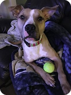 American Pit Bull Terrier Mix Dog for adoption in West Allis, Wisconsin - Oliver