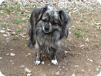 Pomeranian Mix Dog for adoption in Bloomfield, Connecticut - Phineas