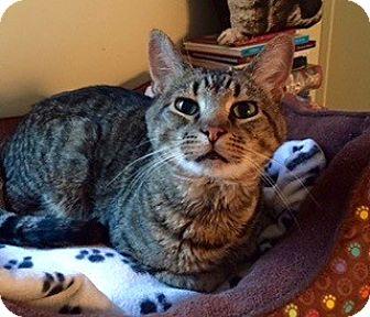 Domestic Shorthair Cat for adoption in Novato, California - Henry