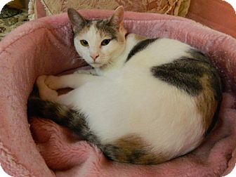 Calico Cat for adoption in The Colony, Texas - O'Hara