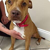 Adopt A Pet :: Scarlett - Gainesville, FL