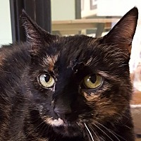 Domestic Shorthair Cat for adoption in Auburn, California - Starfire
