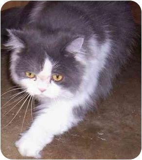 Persian Cat for adoption in Cold Lake, Alberta - Gucci
