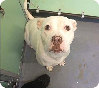 American Bulldog Mix Dog for adoption in Fredericksburg, Virginia - Nala