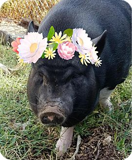 Pig (Farm) for adoption in Gadsden, Alabama - FiFi