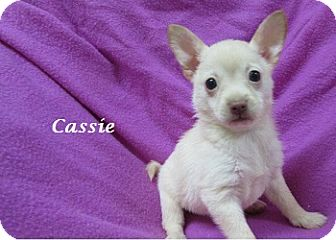 Chihuahua/Pomeranian Mix Puppy for adoption in Bartonsville, Pennsylvania - Cassie