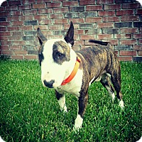 Adopt A Pet :: Benny - Houston, TX