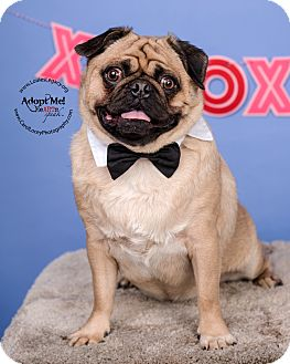 Pug Dog for adoption in Cincinnati, Ohio - Toby