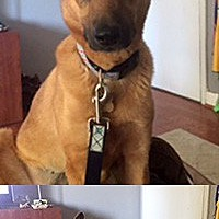 Adopt A Pet :: Sheba/Lucy - Chantilly, VA