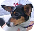 Jack Russell Terrier/Chihuahua Mix Dog for adoption in Marion, North Carolina - Cassie