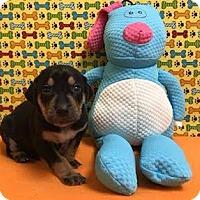 Adopt A Pet :: Bryzzo blue - Valparaiso, IN
