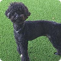 Adopt A Pet :: 'CHRIS' - Agoura Hills, CA