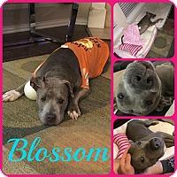 Adopt A Pet :: Blossom - Ft Worth, TX