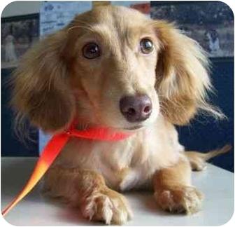 Dachshund/Shih Tzu Mix Dog for adoption in North Judson, Indiana - Budz