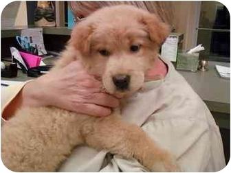 Chow Chow/Labrador Retriever Mix Puppy for adoption in Greenville, South Carolina - Soki