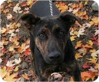 Shepherd (Unknown Type) Mix Puppy for adoption in Phoenix, Oregon - Trixie