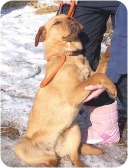 Golden Retriever/Mountain Cur Mix Dog for adoption in Metamora, Indiana - Celia