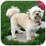 Photo 2 - Lhasa Apso/Bichon Frise Mix Dog for adoption in Ile-Perrot, Quebec - Leon