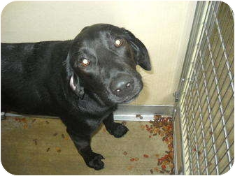 Labrador Retriever Mix Dog for adoption in Broadway, New Jersey - Jake