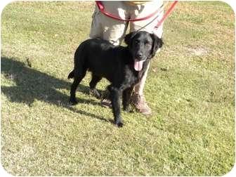 Irish Setter/Labrador Retriever Mix Dog for adoption in Baton Rouge, Louisiana - Jerry