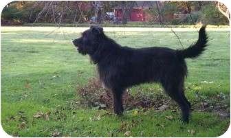 Bouvier des Flandres/Labrador Retriever Mix Dog for adoption in Rochester/Buffalo, New York - Harry - Courtesy Post
