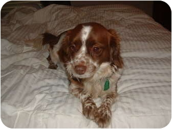 Cavalier King Charles Spaniel Mix Dog for adoption in Rochester, New Hampshire - Maddux adopted