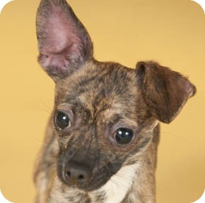 Chihuahua Dog for adoption in Chicago, Illinois - Prince