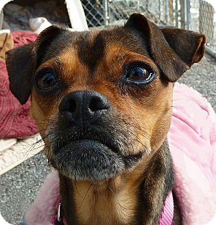 Chihuahua/Terrier (Unknown Type, Small) Mix Dog for adoption in Carmel, New York - Lilly