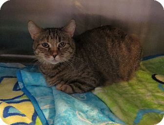 Domestic Shorthair Cat for adoption in Geneseo, Illinois - LeAnn