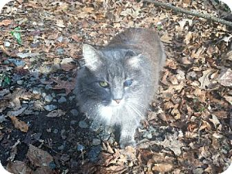 Domestic Mediumhair Cat for adoption in Winston-Salem, North Carolina - Grey Boy