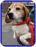 Beagle Dog for adoption in Portland, Maine - Billy