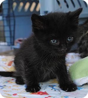 Domestic Shorthair Kitten for adoption in Palmdale, California - Tiny Tinker