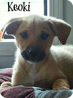 Husky/German Shepherd Dog Mix Puppy for adoption in Groton, Massachusetts - Keoki