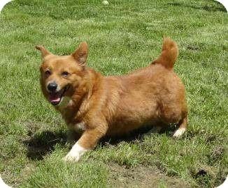 Corgi Dog for adoption in Antioch, Illinois - Megan ADOPTED!!