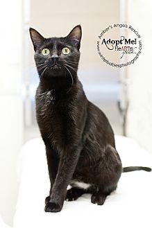 American Shorthair Cat for adoption in Goldens Bridge, New York - Bubbles