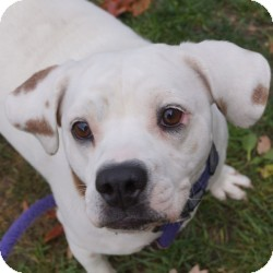 Boxer/Beagle Mix Dog for adoption in Eatontown, New Jersey - Blanca