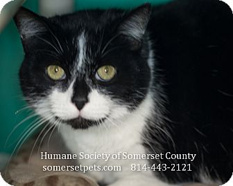 Domestic Shorthair Cat for adoption in Somerset, Pennsylvania - Nyjal