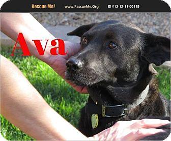 Labrador Retriever/Shepherd (Unknown Type) Mix Dog for adoption in Scottsdale, Arizona - Ava