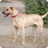 Adopt A Pet :: SUZY Q - Phoenix, AZ