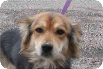 Sheltie, Shetland Sheepdog Mix Dog for adoption in Canton, Ohio - 36 Sheltie