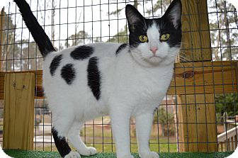 American Shorthair Cat for adoption in wilson, North Carolina - ~~JIMMY~~