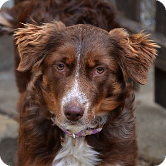 Border Collie/Australian Shepherd Mix Dog for adoption in Garland, Texas - Wendy